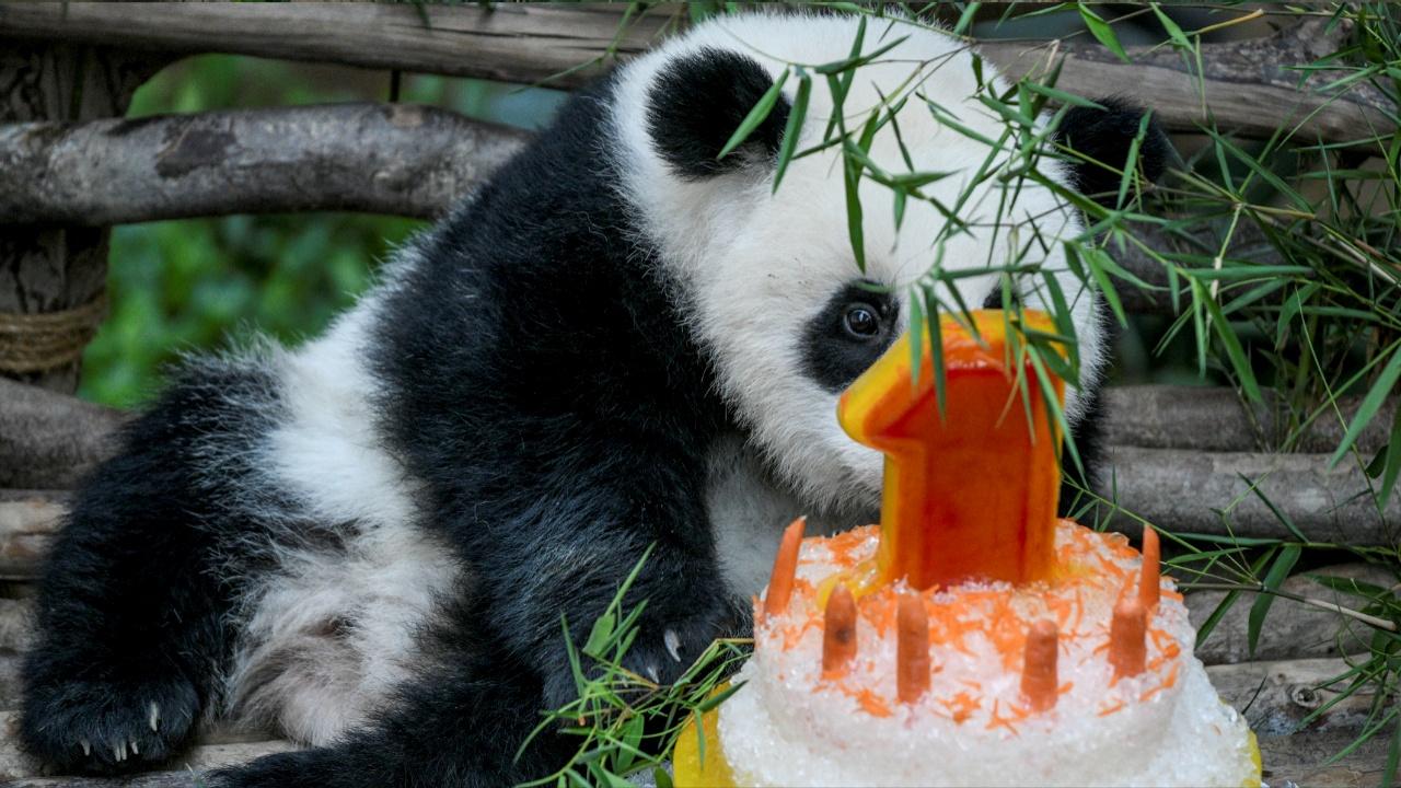 Как в Малайзии отмечали первый день рождения панды