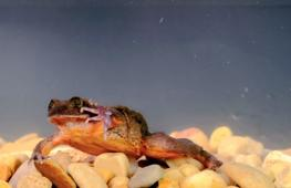 Редкая водяная лягушка Ромео спустя десять лет дождалась Джульетту