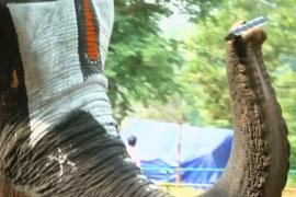 Как слониха играет на губной гармошке