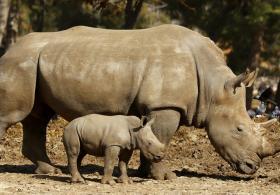 В Израиле детёныш носорога знакомится с обитателями сафари-парка