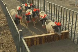 Поросят на китайской ферме готовят к забегу в честь Года свиньи