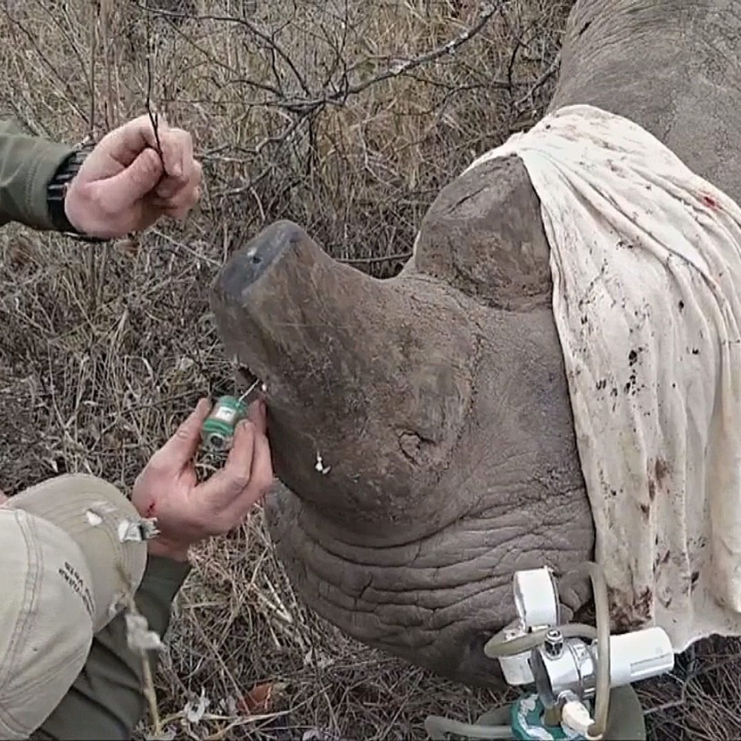 В рога зимбабвийских носорогов вживляют трекеры