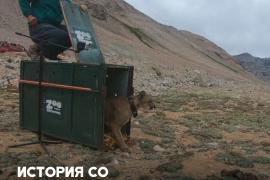 Пуму в Чили сняли с сосны и отпустили на волю