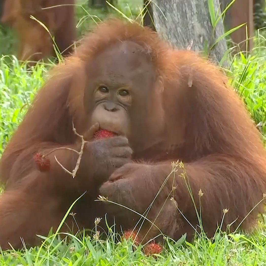 Сирот-орангутанов учат добывать пищу и распознавать хищников