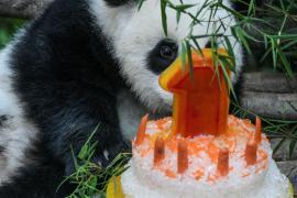 Первый день рождения пандочки отметили в зоопарке Малайзии