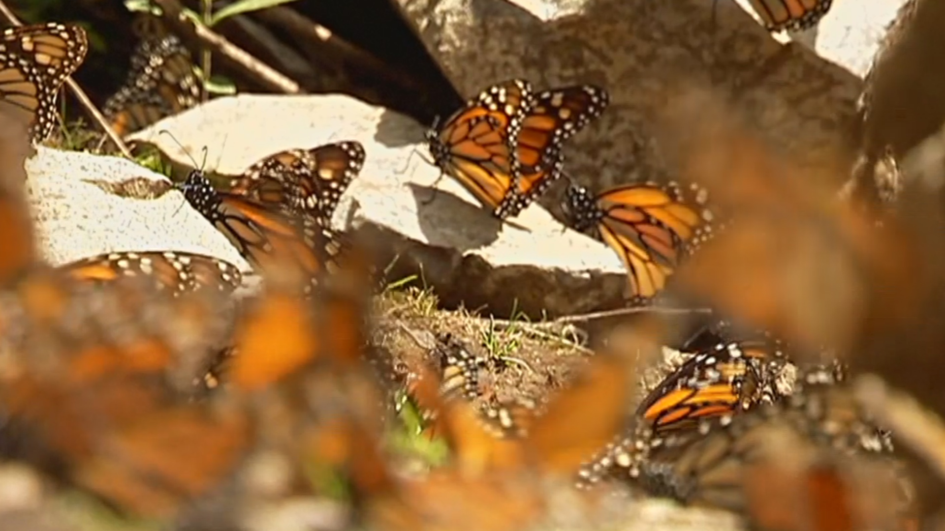 Популяция бабочек-монархов растёт