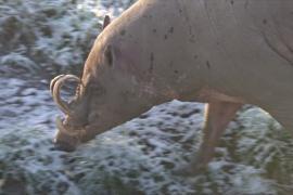 Бабирусса – одна из самых редких свиней в мире
