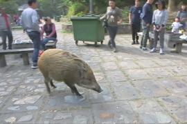 Когда свинья не в радость: в Гонконге нашествие диких кабанов