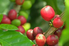 Колумбия восстанавливает урожай кофе, но беспокоится о ценах