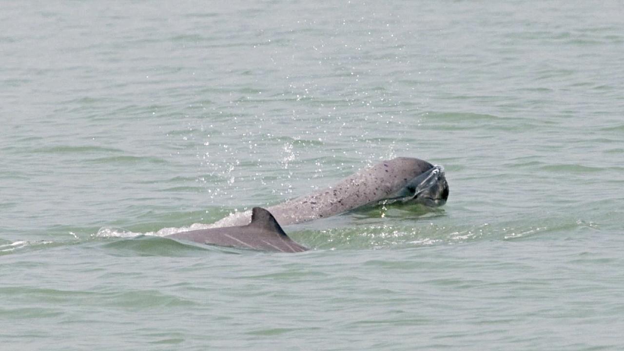 Редких речных дельфинов в Мьянме становится больше благодаря патрулированию