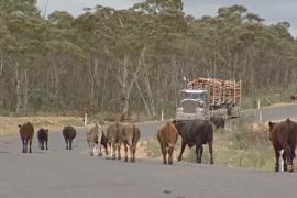 Засуха заставила фермеров Австралии пасти скот вдоль дорог