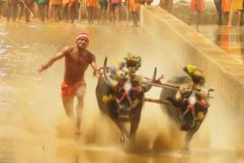 В Индии гонками буйволов отметили конец сбора урожая