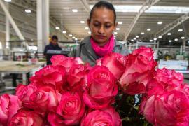 В преддверии Дня святого Валентина колумбийцы заняты упаковкой цветов