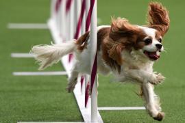 На Вестминстерском дог-шоу за звание лучшей посостязались 2800 собак