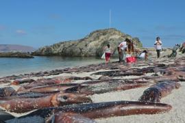 На пляж в Чили вымыло тысячи каракатиц