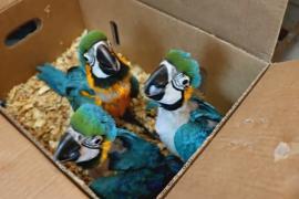 В Чили редких попугаев спасли из рук контрабандиста