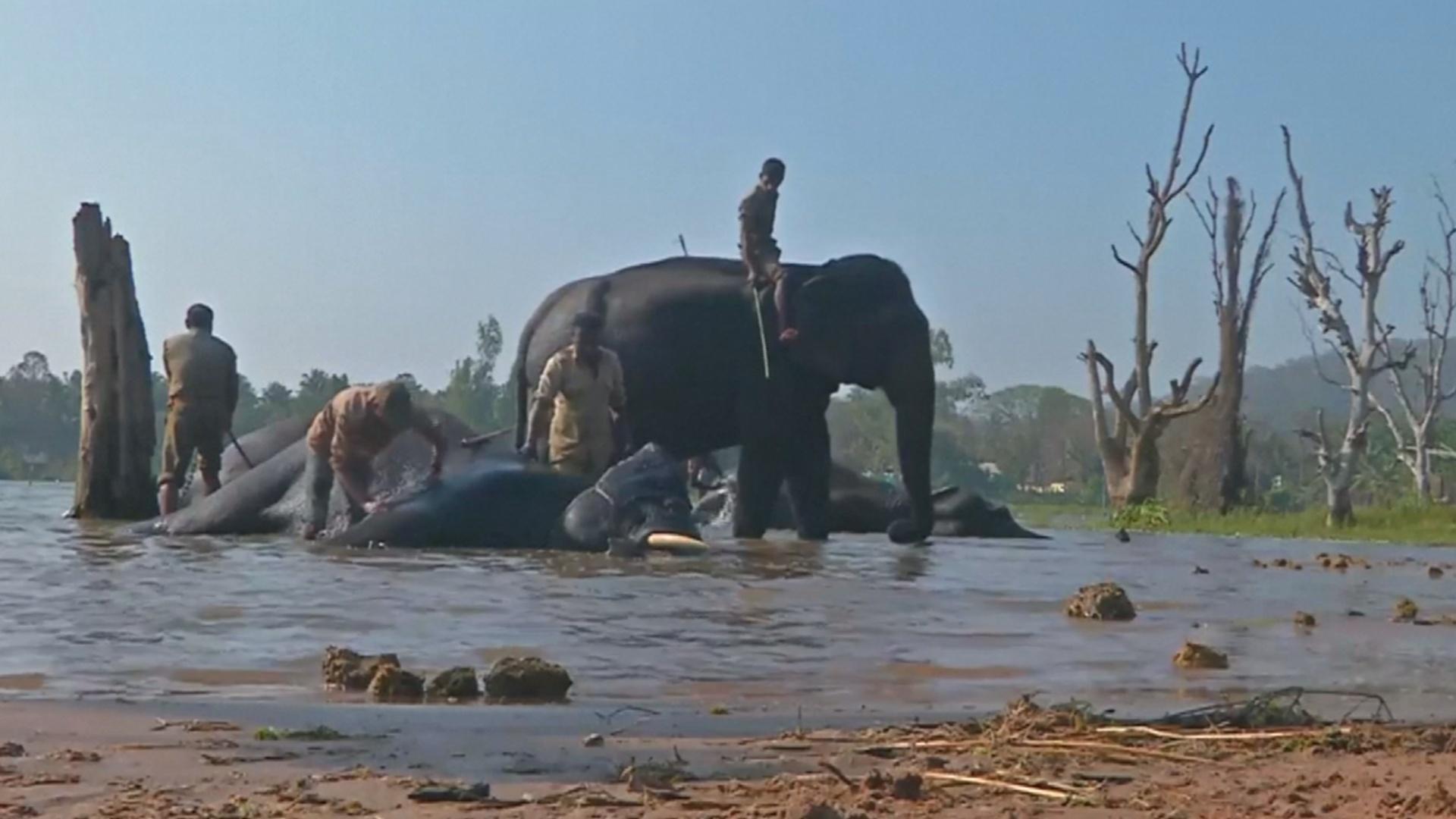 В Индии приручают диких слонов, которым грозит опасность
