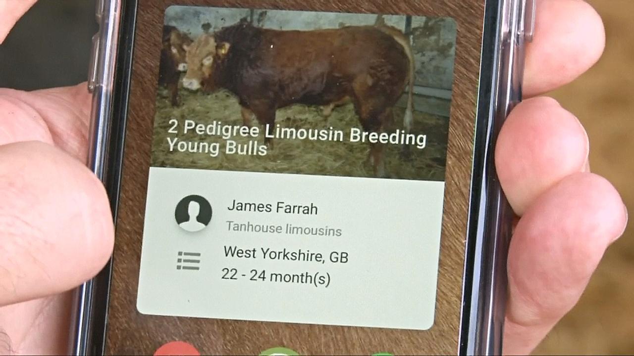 Сайт знакомств для коров придумали в Великобритании