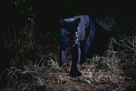Редкого чёрного леопарда сфотографировали в Кении