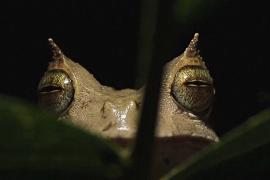 Редкая рогатая лягушка вернётся в дикую природу Эквадора