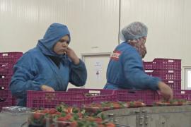 Почему марокканских фермеров по выращиванию ягод беспокоит «брексит»