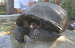 На Галапагосах обнаружили черепаху вида, вымершего 100 лет назад