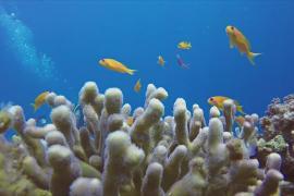 Почему в Красном море не обесцвечиваются кораллы?