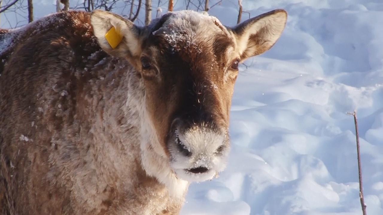Северные олени спустя 100 лет появились в нижегородских лесах