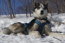 «Берингия-2019»: собачьи упряжки готовы к гонке на Камчатке