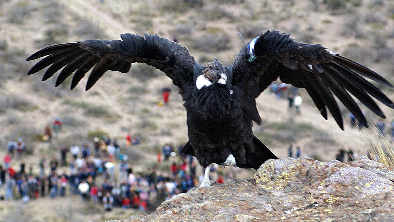 Спасённых андских кондоров выпустили в дикую природу в Боливии