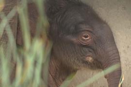 В бельгийском зоопарке родился азиатский слонёнок