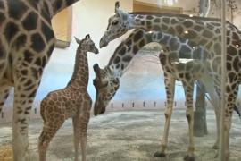 Жирафёнок, который не мог стоять, дебютирует в Пражском зоопарке
