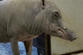 Как выглядит одна из самых редких свиней в мире