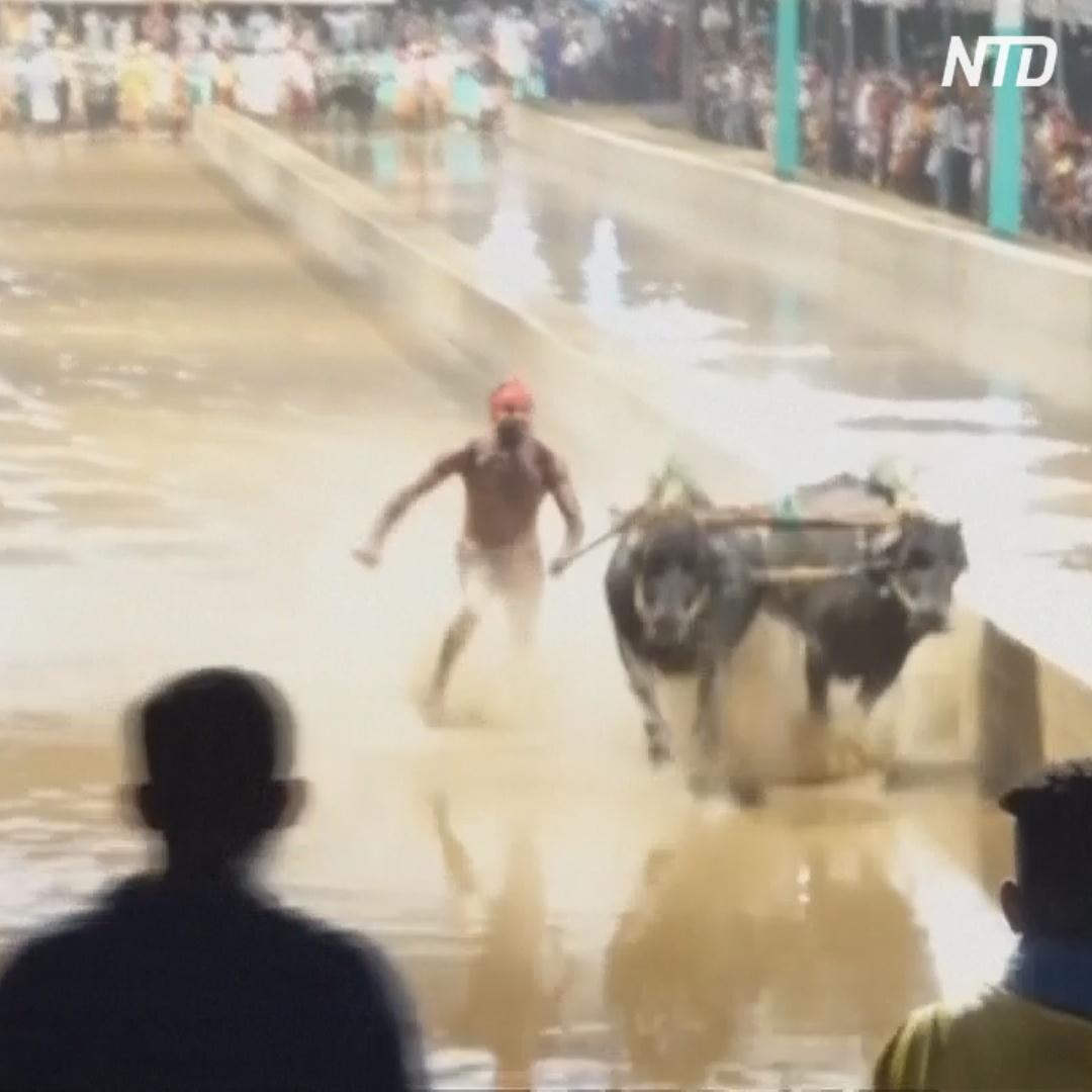 Гонки буйволов в Индии возвестили о конце сезона сбора урожая