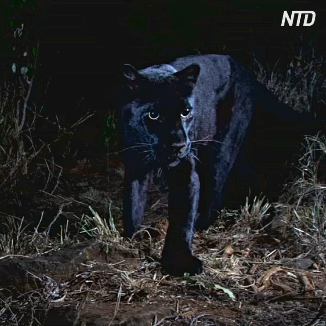 Редкий чёрный леопард попал в объектив в Кении впервые за 100 лет