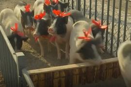 Поросята на китайской ферме готовятся к праздничному забегу
