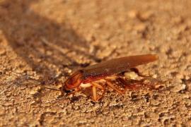 Неприятные вопросы про насекомых. Тараканы кусаются? Холодные температуры убивают тараканов?