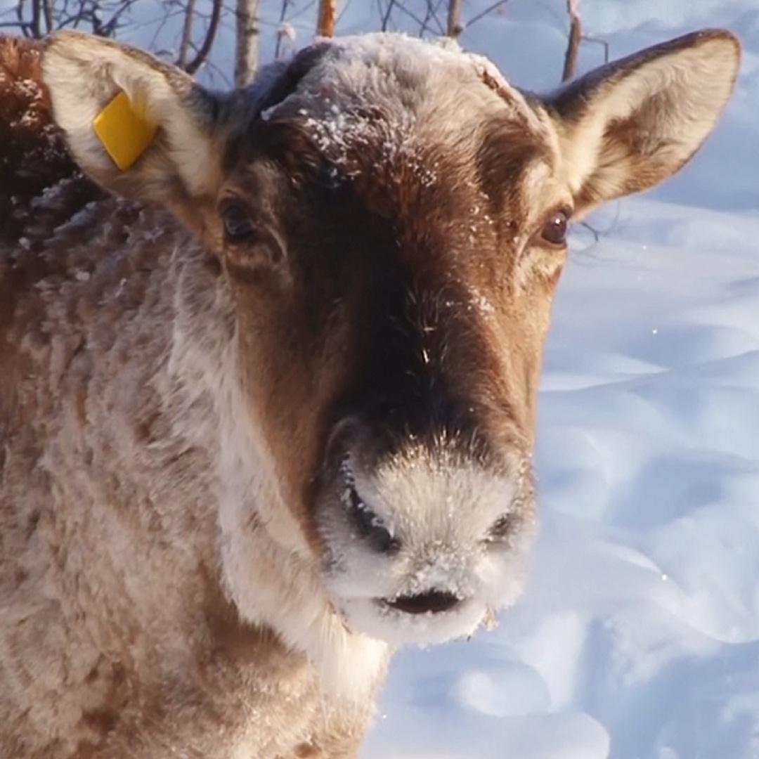 В нижегородских лесах снова появились северные олени