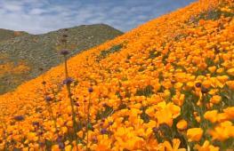 Оранжевый ковёр из калифорнийских маков украсил горы Элсинор