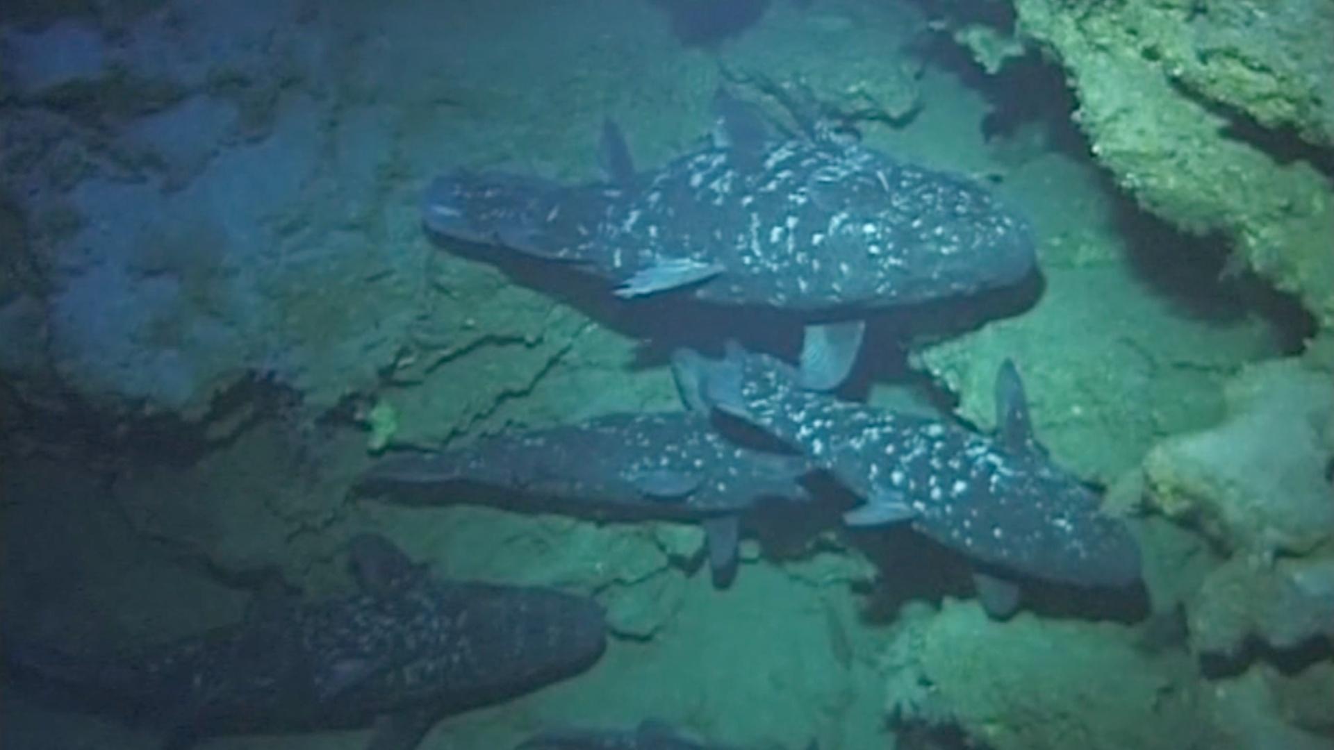 Учёные лучше изучат рыбу, которую называют живым ископаемым