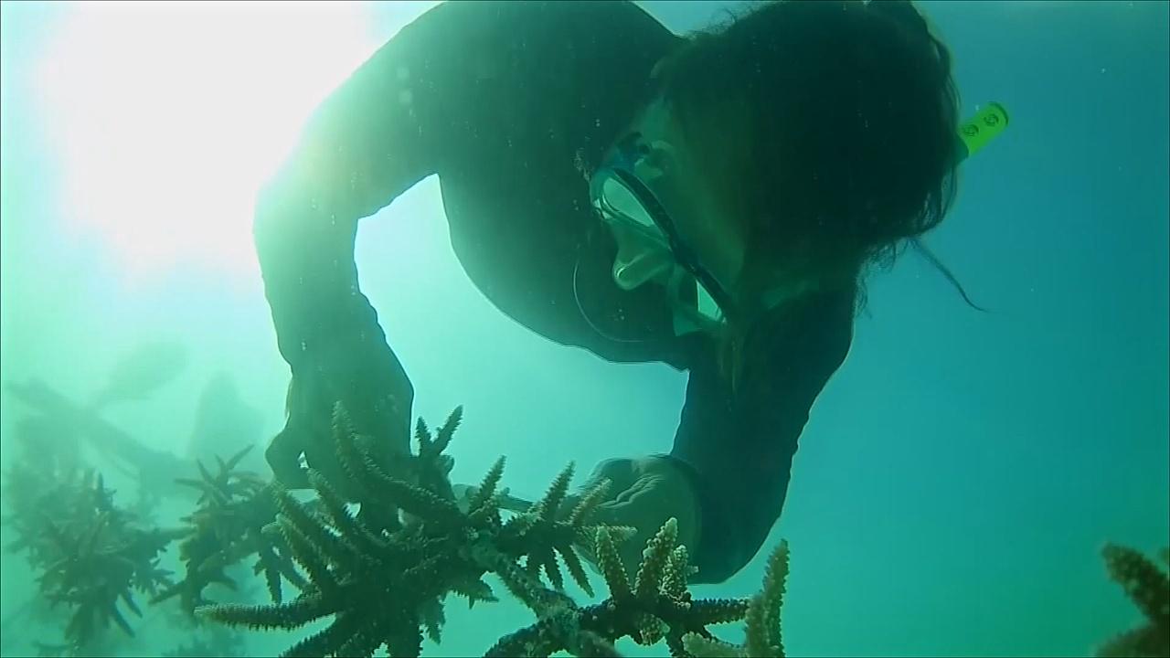 На Сейшельских островах выращивают «суперкораллы»