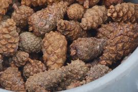 Зачем в Нижегородской области собирают сосновые шишки