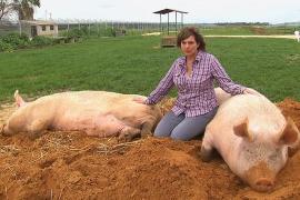 Ферма в Израиле спасает больных свиней, коров и другой скот