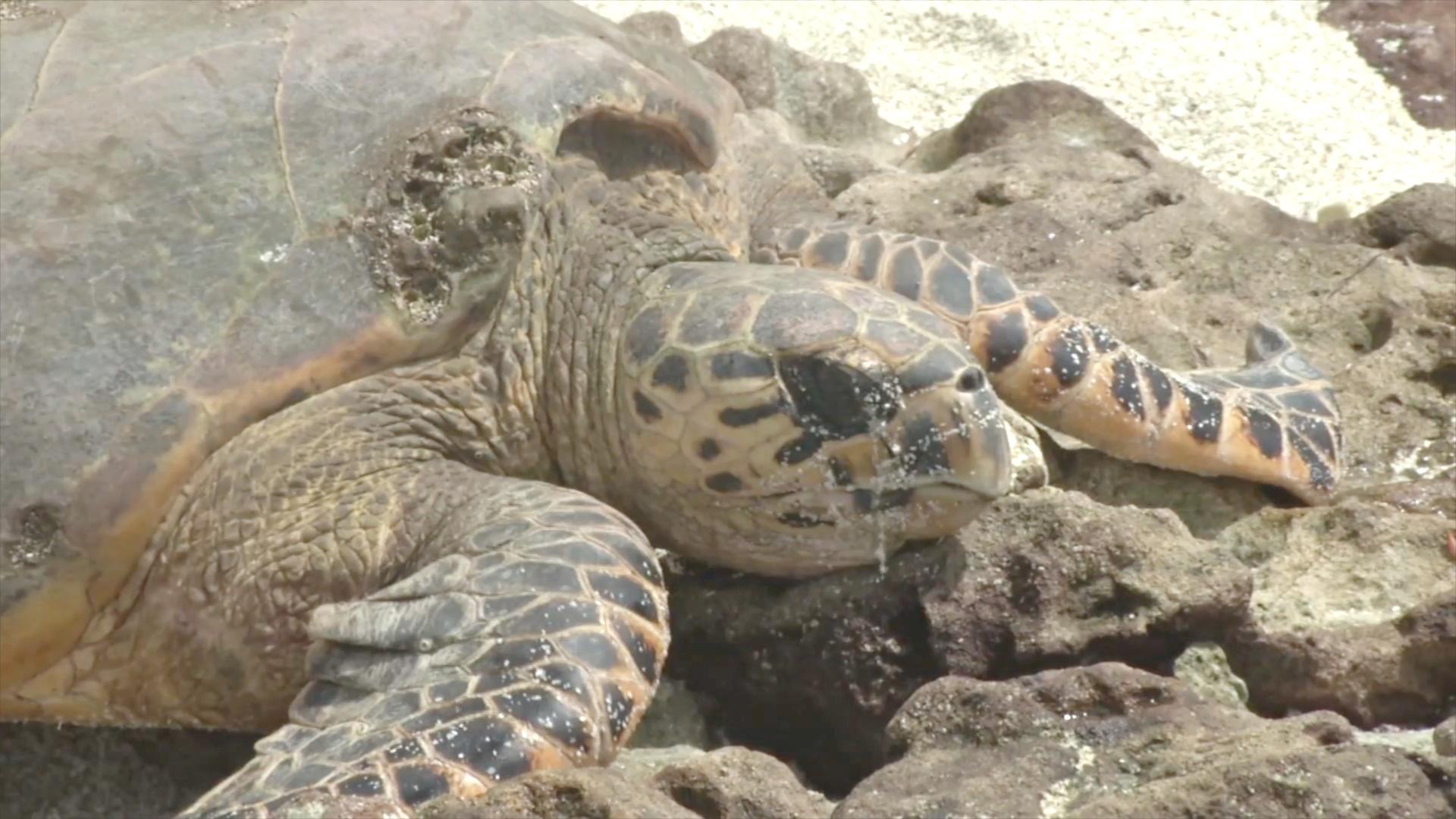 Редкие черепахи хоксбилл успешно размножаются на Сейшелах
