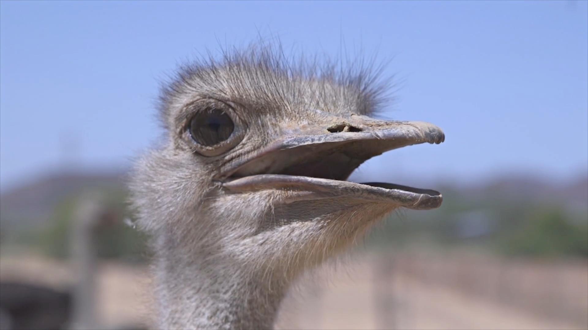 Засуха угрожает страусиным фермам ЮАР