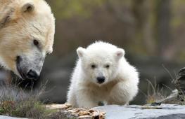 В Берлине белый медвежонок впервые вышел на публику