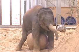 Учёные придумали, как разнообразить жизнь слонов в зоопарках