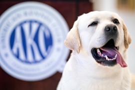 Лабрадоры-ретриверы – уже 28 лет самые любимые собаки в США