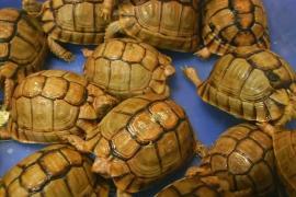 В Индии задержали авиапассажира с рогатой гадюкой и редкими черепахами