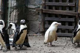 Уникального пингвина-альбиноса показали в Гданьском зоопарке